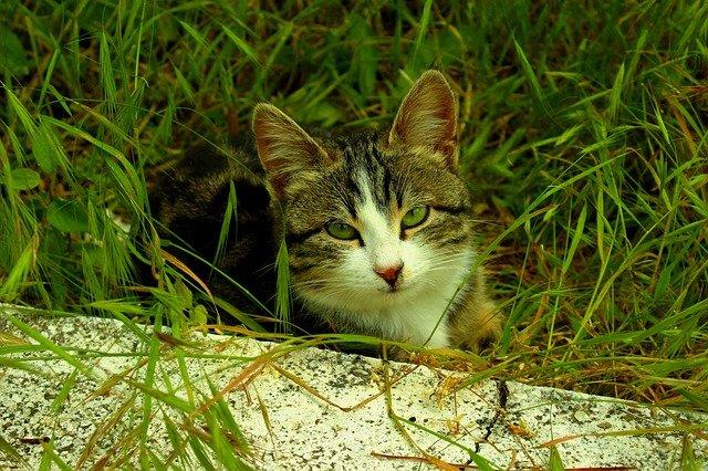 zelenooká kočka
