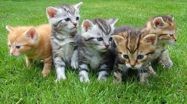 pět koťat