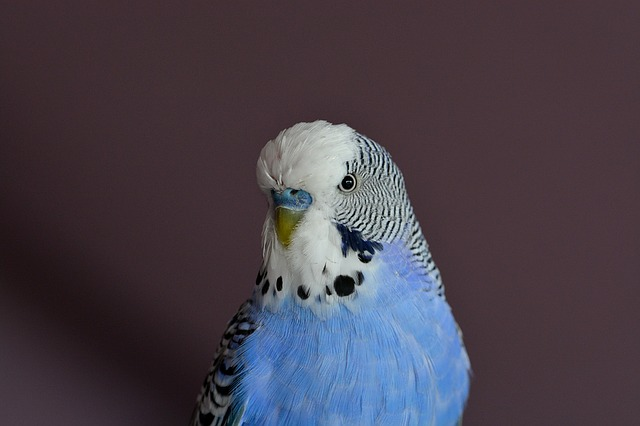modrobílá andulka