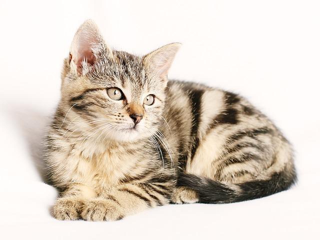 mourovaté kotě