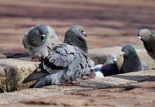 holubi ve městě