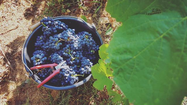 Voňavý a lahodný kohoutek na víně